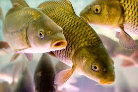 Продам живую рыбу оптом. Живой карп.