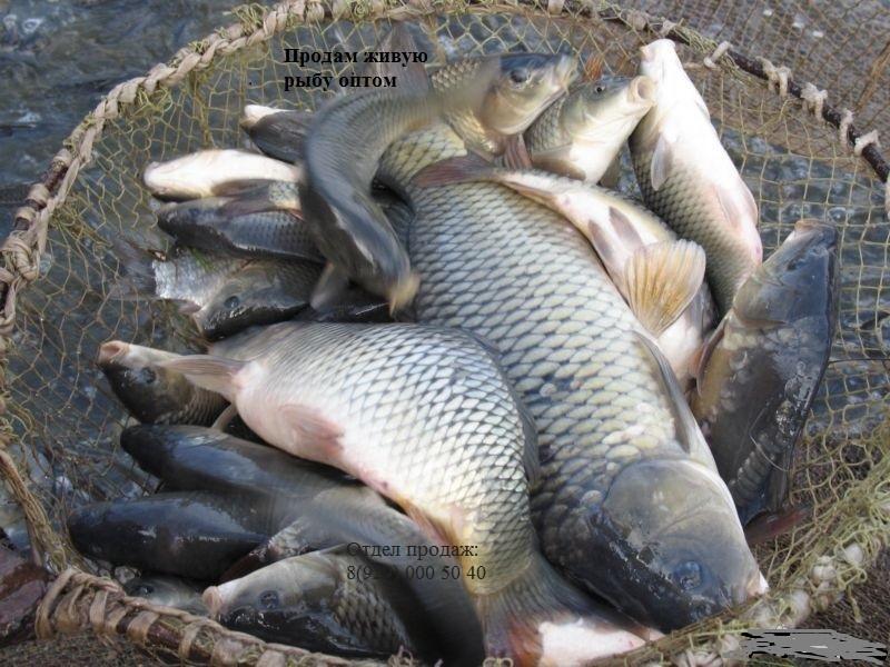 Продам живую рыбу.. Быстрый отлов.