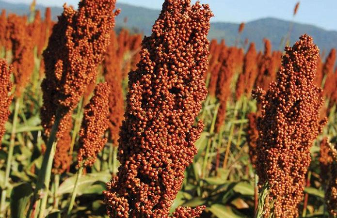 Семена сорго на посевную 2020