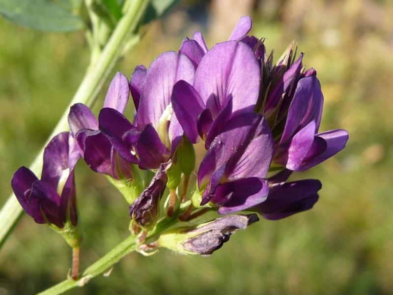 Семена люцерны сорта Манычская, Багира